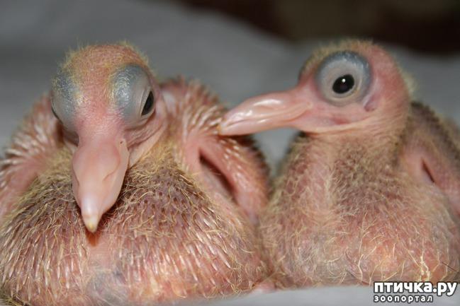 фото 4: Где искать птенцов сизого голубя?