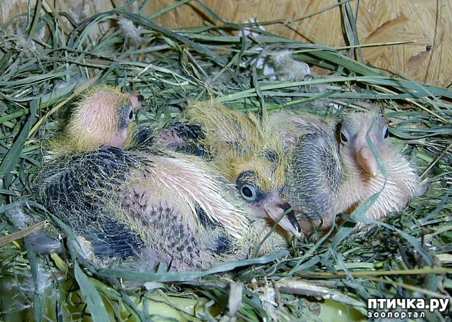 фото 5: Где искать птенцов сизого голубя?