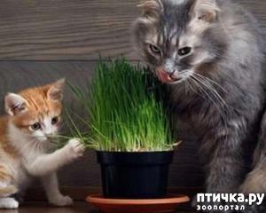 фото: Трава для кошек