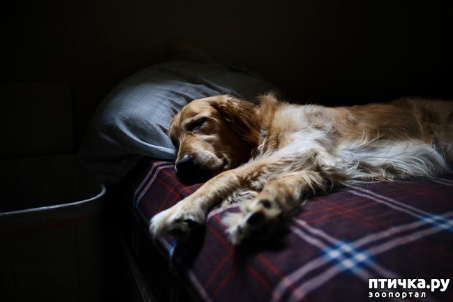 фото 1: Можно ли разрешать собаке спать в хозяйской постели?