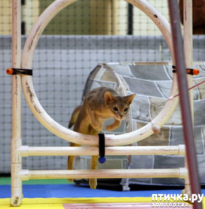 фото: Аджилити в исполнении кошек