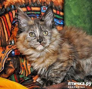 фото: Кошки - черепашки