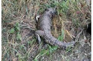 фото: Возле школы в Симферополе обнаружили живого крокодила