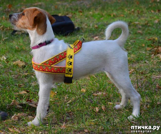 фото 3: Шлейка для собаки - за и против