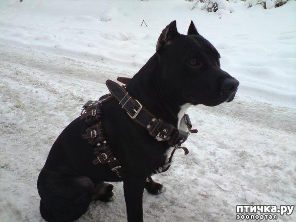 фото 8: Шлейка для собаки - за и против