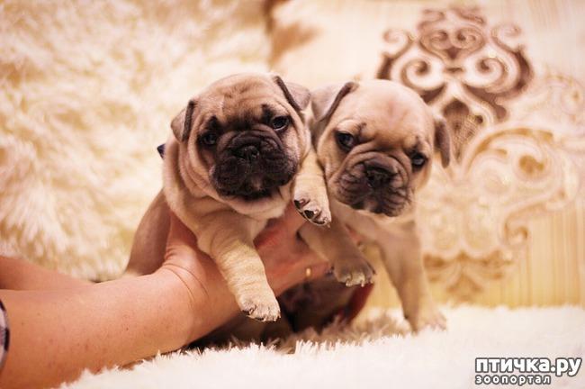 фото 1: Высокопородные щенки французского бульдога