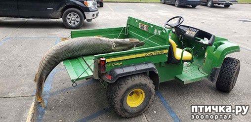 фото 5: В США из озера вытащили доисторическую щуку.