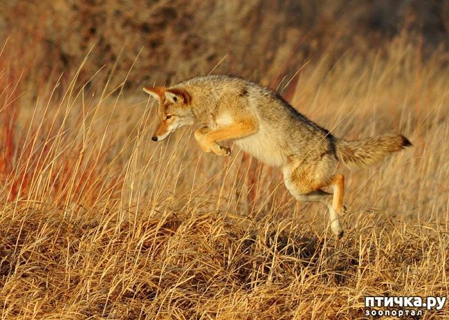 фото 2: О чем поет койот