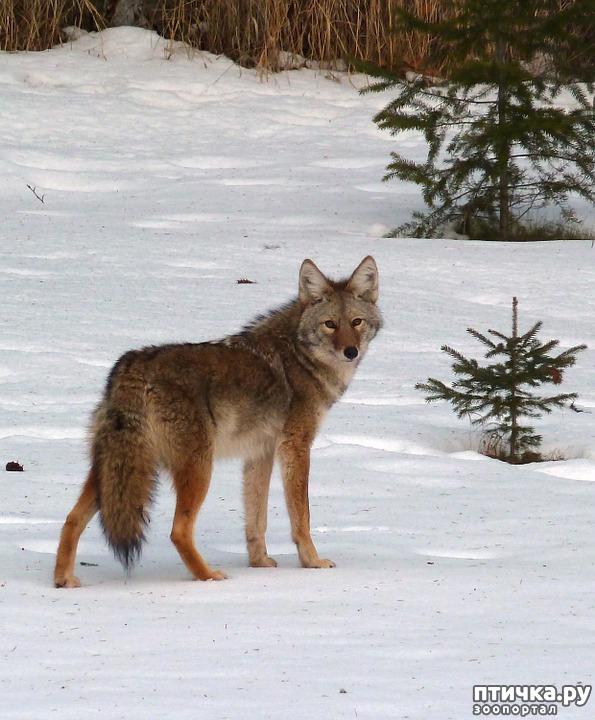 фото 1: О чем поет койот
