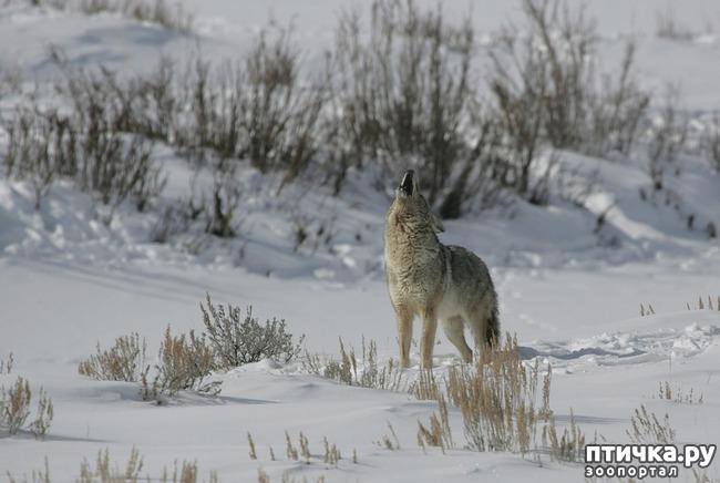 фото 4: О чем поет койот