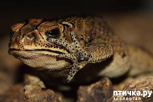 фото: Чернорубцовые жабы дома