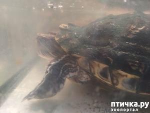 фото: Гриша - ещё одна красноухая черепаха
