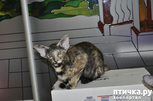 фото: Знакомьтесь oriental shorthair cat