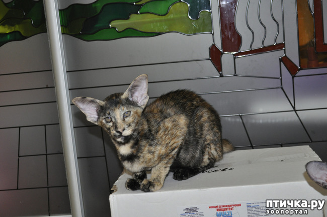 фото 1: Знакомьтесь oriental shorthair cat