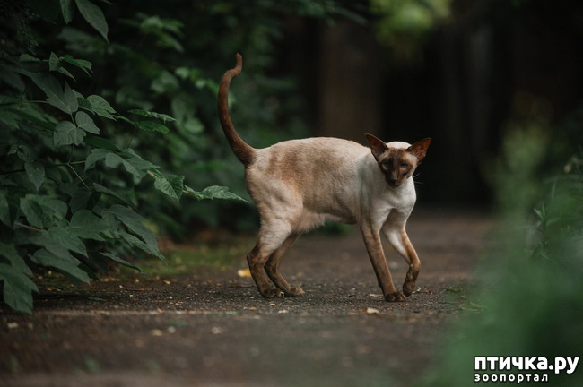 фото 4: Fusi Love Mi Ra Cat (SIAb)