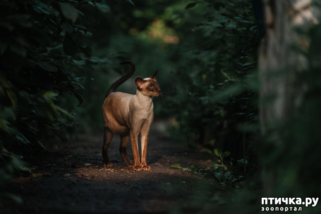 фото 5: Fusi Love Mi Ra Cat (SIAb)