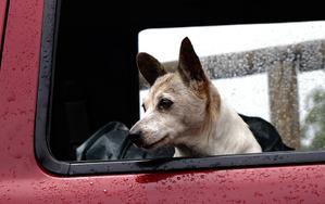 фото: Как гулять с собакой в дождь?