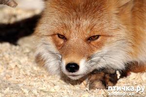 фото: Обыкновенная лиса. Или необыкновенная?