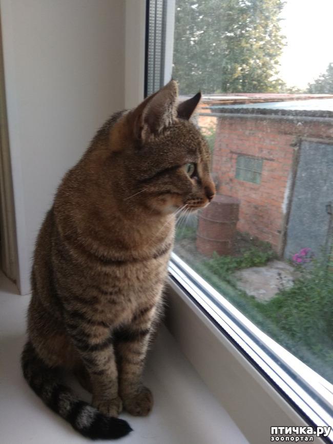 фото 2: Кот, который сам вернулся домой. На своих четырёх - из Москвы в Солнечногорск под проливным дождём за девять дней.