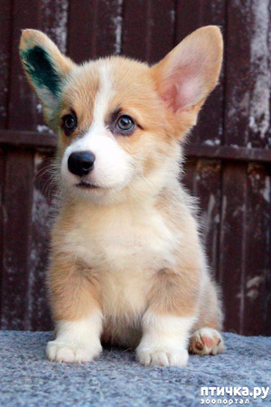 фото: Профессиональная дрессировка породистых собак
