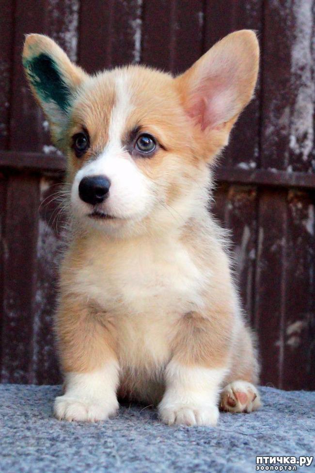 фото 1: Профессиональная дрессировка породистых собак
