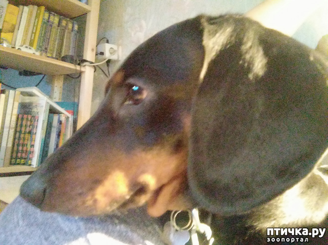фото 3: Великое собачье противостояние или Хочу на ручки!