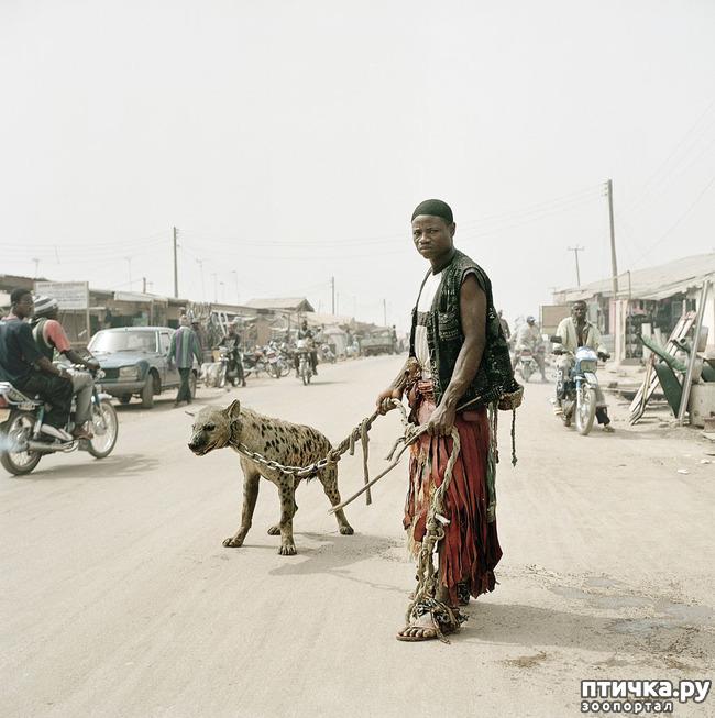фото 6: Немного о гиенах