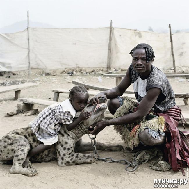 фото 7: Немного о гиенах