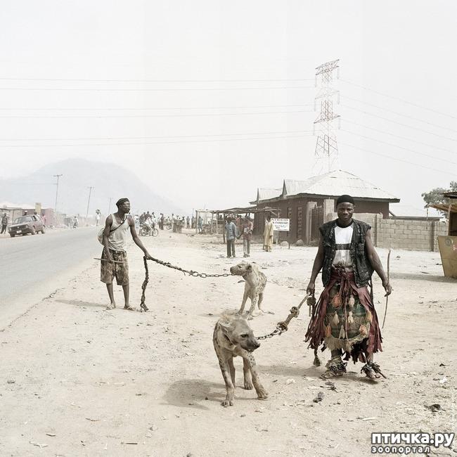 фото 8: Немного о гиенах
