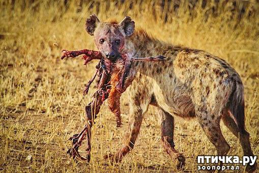 фото 5: Немного о гиенах