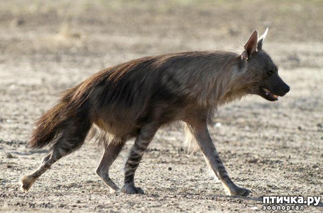 фото 3: Немного о гиенах