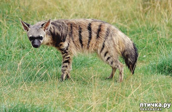 фото 4: Немного о гиенах