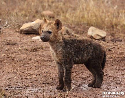 фото 9: Немного о гиенах