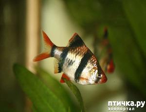 фото: Барбусы суматранские