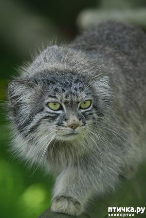 фото: Манул. Дикий кот.