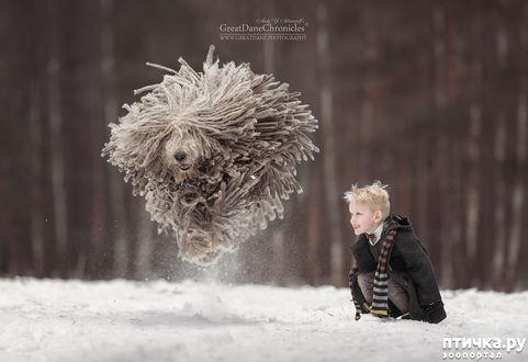фото 4: Комондор - собака, которой идут дреды.
