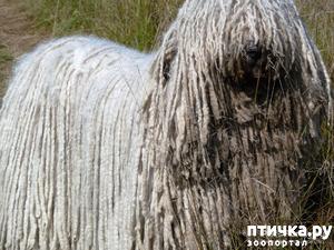 фото: Комондор - собака, которой идут дреды.