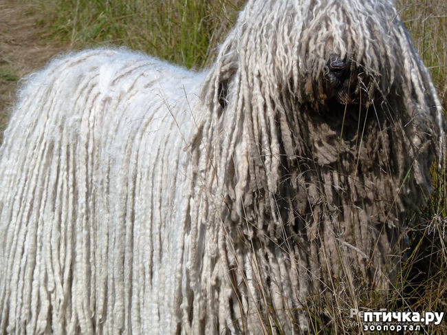 фото 1: Комондор - собака, которой идут дреды.