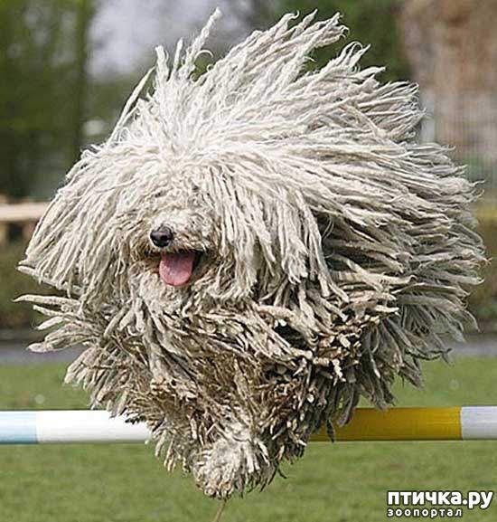 фото 2: Комондор - собака, которой идут дреды.