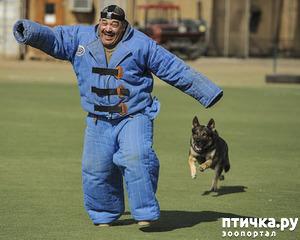 фото: Собака-телохранитель
