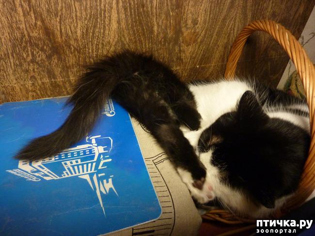 фото 7: Втекание в корзинку))). Коты это жидкость!