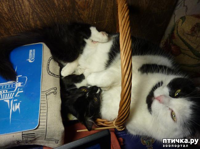 фото 9: Втекание в корзинку))). Коты это жидкость!