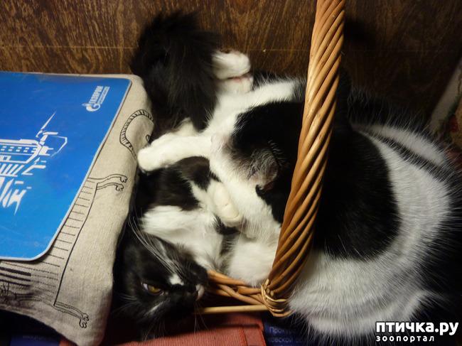 фото 10: Втекание в корзинку))). Коты это жидкость!