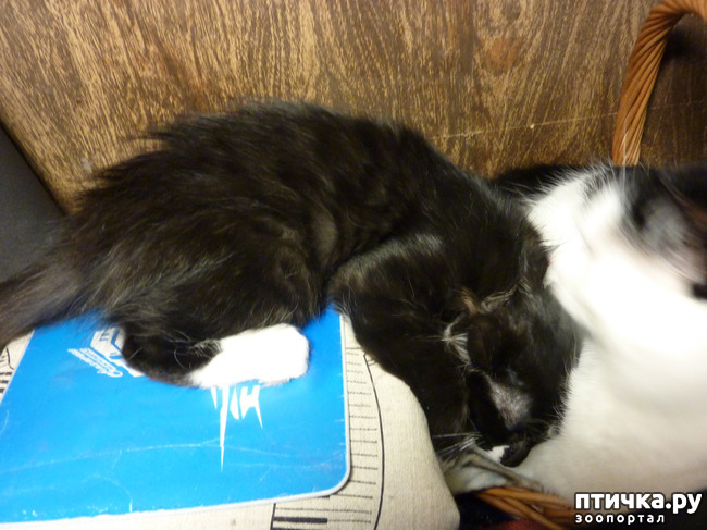 фото 6: Втекание в корзинку))). Коты это жидкость!