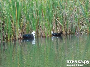 фото: Утки в Покровском парке