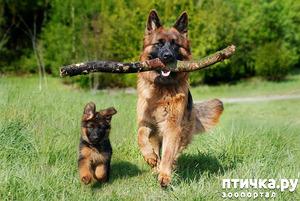 фото: Щенок или взрослая собака?