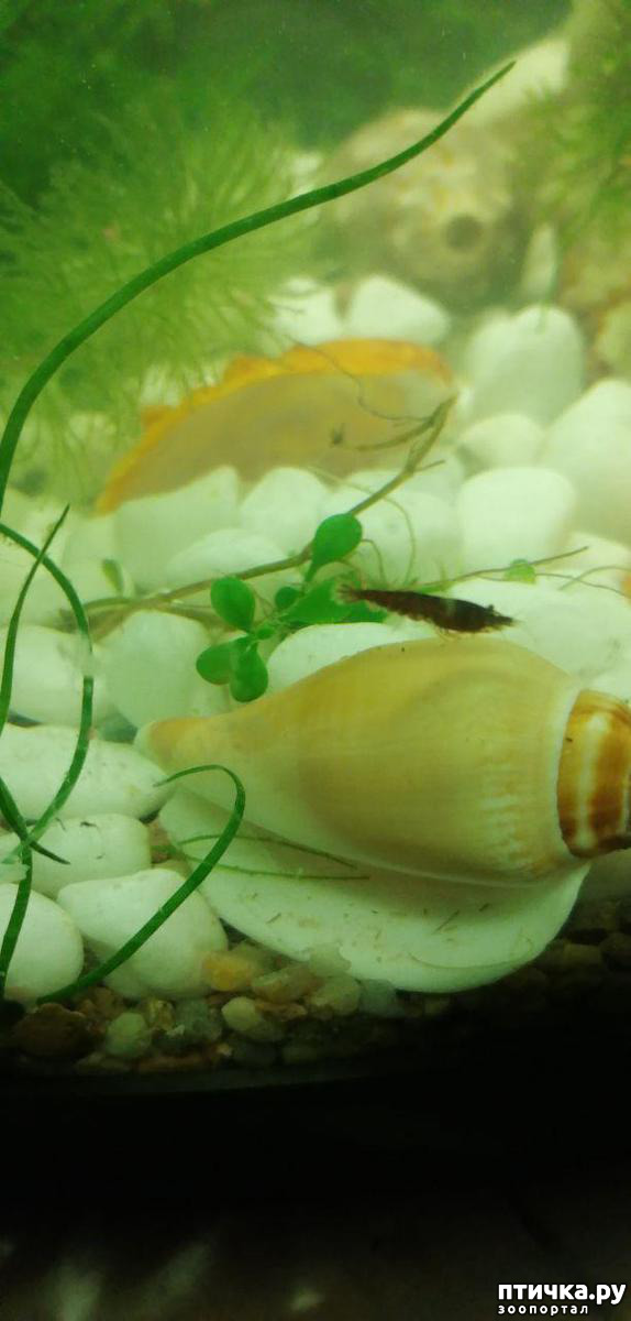 фото 4: Немного фотографий моих аквариумных жителей.