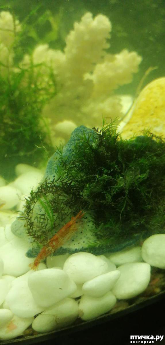 фото 9: Немного фотографий моих аквариумных жителей.