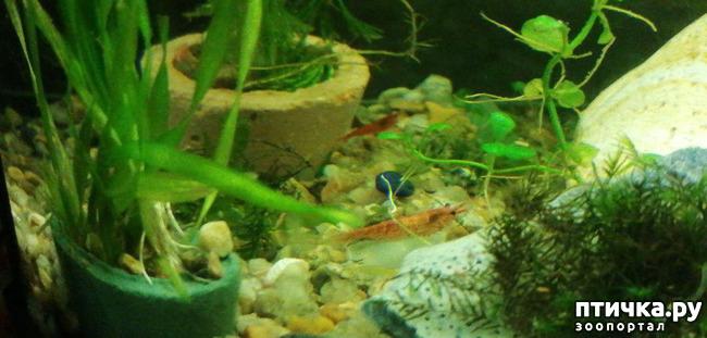 фото 12: Немного фотографий моих аквариумных жителей.