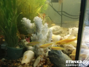 фото: Немного фотографий моих аквариумных жителей.